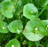 miners_lettuce